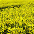 New Photographic Art Print For Sale Yellow English Fields 4 by Toula Mavridou-Messer