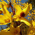 New Season - Old Friend  ... Forsythia In Springtime by Connie Handscomb