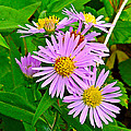 New York Asters In Flower's Cove-newfoundland by Ruth Hager