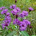 New York Ironweed Wildflower - Vernonia Noveboracensis by Mother Nature