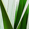 New Zealand Flax Simplified by Steve Taylor