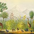 New Zealand Kiwi, Takahe, Extinct Moa by British Library