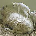 Newborn Lambs At Play by Ann Horn