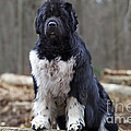 Newfoundland Dog by Jean-Michel Labat