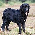 Newfoundland Dog by John Daniels