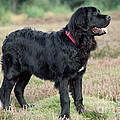 Newfoundland Dog, Standing In Field by John Daniels