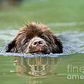 Newfoundland Dog, Swimming In River by John Daniels