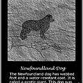 Newfoundland Dog Vintage Sketch by Barbara Griffin