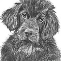 Newfoundland Puppy Sketch by Kate Sumners