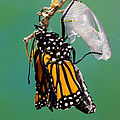 Newly-emerged Monarch Butterfly by Anthony Mercieca