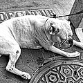 Newsworthy Dog In French Quarter Black And White by Kathleen K Parker