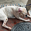 Newsworthy Dog In French Quarter by Kathleen K Parker