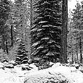 Next Season Christmas Trees by Maria Coulson