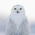 Nh Seacoast Snowy Owl  by John Vose