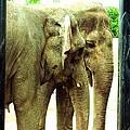 Niabi Asian Elephants by Margaret Newcomb