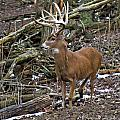 Nice Buck by Ronald Lutz