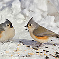 Nice Pair Of Titmice by John Absher