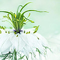 Nigella Damascena 'double White'  by Onelia PGPhotography