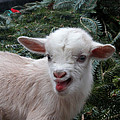 Nigerian Baby Goat 3 Of 8 by Dwight Cook