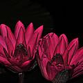 Night Blooming Lily 1 Of 2 by Terri Winkler