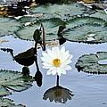 #night Blooming Water Lily by Cornelia  DeDona