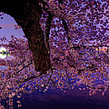 Night Blossoms by Metro DC Photography