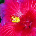 Night Fire Hibiscus by Rich Walter