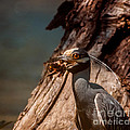 Night Heron And Crawdaddy by Robert Frederick