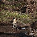 Night Heron At Corroboree Billabong by Douglas Barnard
