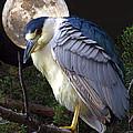 Night Heron by David Salter