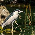 Night Heron by Kevin  Dietrich