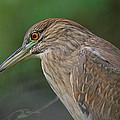 Night Heron by Thomas Kaestner