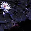 Night Lotus by Anne Cameron Cutri