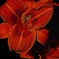Night Time Lilly by Melvin Busch