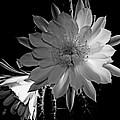 Nightblooming Cereus Cactus Flower by Susan Duda