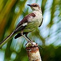Nightingale by Amar Sheow