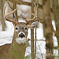 Nine Point White Tailed Buck by John Vose