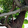 Nispero Tree by Rafael Salazar