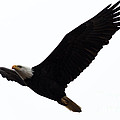 Nisqually Eagle 2 by John Daly