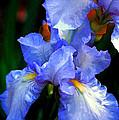 Nita's Iris by Ola Allen