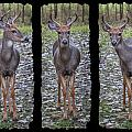 Curious Yearling Deer by Patti Deters