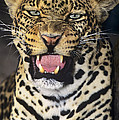 No Solicitors African Leopard Endangered Species Wildlife Rescue by Dave Welling
