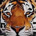 Nobility   Amur   Siberian  Tiger by John  Palmer