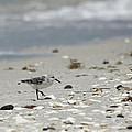 Nokomis Beach Piper by Susan Molnar