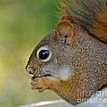 Nom Nom Squirrel  by Kerri Farley