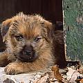 Norfolk Terrier Puppy By Barn Door by John Daniels