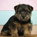 Norfolk Terrier Puppy Dog, Sitting by John Daniels