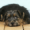 Norfolk Terrier Puppy by John Daniels
