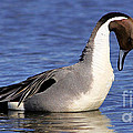 Northern Pintail Duck Performing by Sue Harper