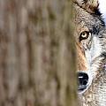 North American Gray Wolf Behind Tree by Dan Friend